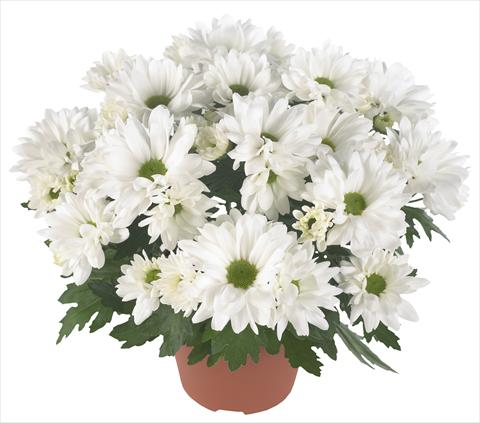 photo of flower to be used as: Pot and bedding Chrysanthemum Breeze Frost