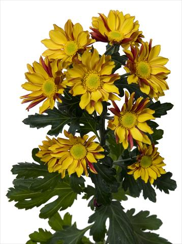 photo of flower to be used as: Pot and bedding Chrysanthemum Elegance