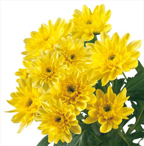 photo of flower to be used as: Cutflower Chrysanthemum Baltica Yellow