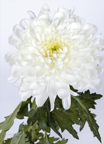 photo of flower to be used as: Cutflower Chrysanthemum Salvador