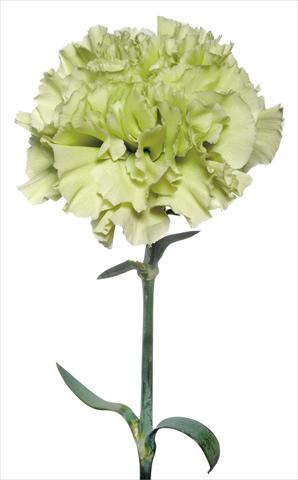 photo of flower to be used as: Cutflower Dianthus caryophyllus Brunelleschi