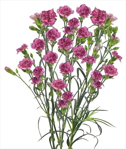 photo of flower to be used as: Cutflower Dianthus caryophyllus Clemente