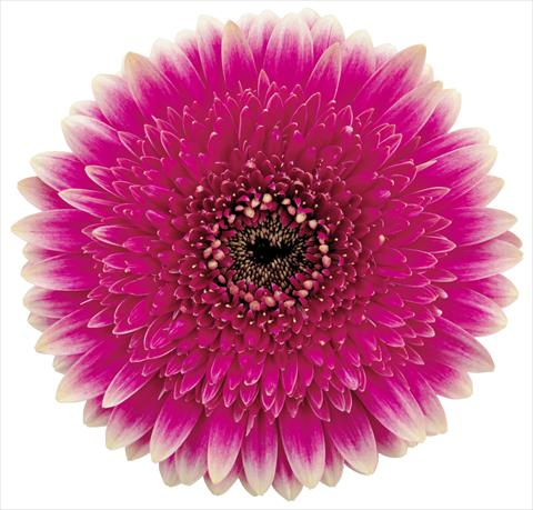 photo of flower to be used as: Pot Gerbera jamesonii Delya bicolore