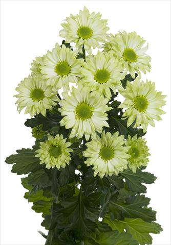 photo of flower to be used as: Cutflower Chrysanthemum Green Spirit