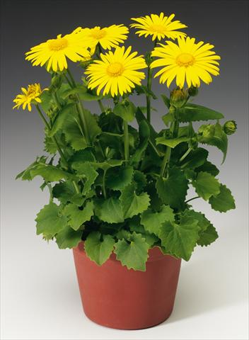 photo of flower to be used as: Bedding / border plant Doronicum orientale Leonardo™