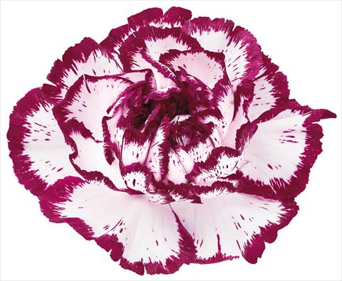 photo of flower to be used as: Cutflower Dianthus caryophyllus Bacarat