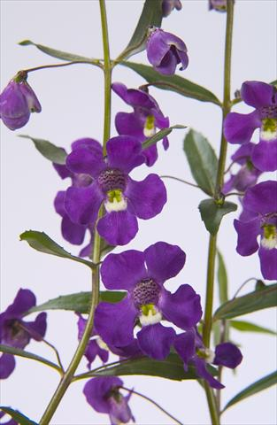 photo of flower to be used as: Pot, bedding, patio, basket Angelonia angustifolia Blue