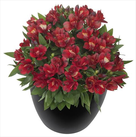 photo of flower to be used as: Pot and bedding Alstroemeria Inticancha® Doba