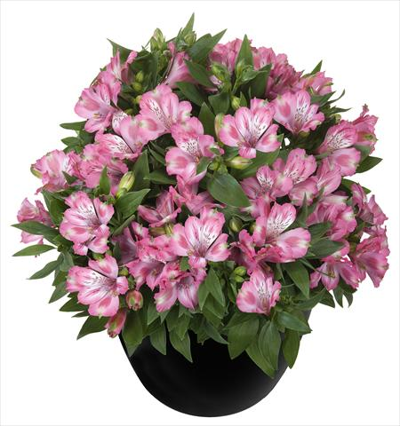 photo of flower to be used as: Pot and bedding Alstroemeria Inticancha® Imala