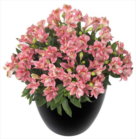 photo of flower to be used as: Pot and bedding Alstroemeria Inticancha® Kanika