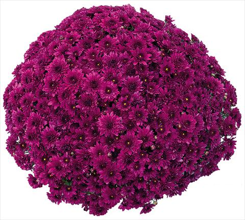 photo of flower to be used as: Pot and bedding Chrysanthemum Korus