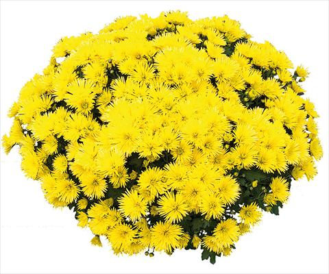 photo of flower to be used as: Pot and bedding Chrysanthemum Vinci Jaune