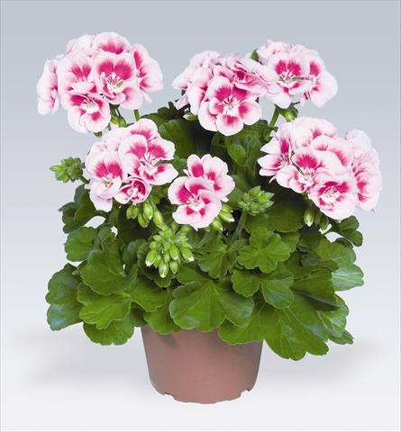 photo of flower to be used as: Pot, bedding, patio Pelargonium zonale pac® Flower Fairy White Splash®